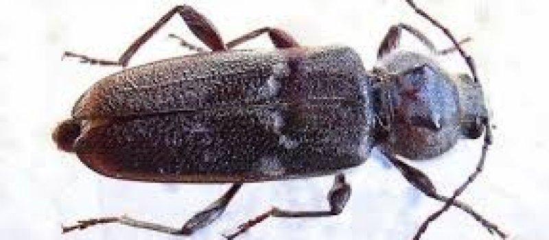 Pest Inspections House Borer