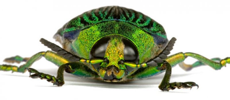 Pest Inspections Jewel Beetle