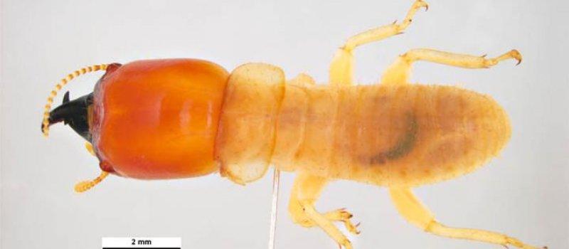Pest Inspections Termite Insularis