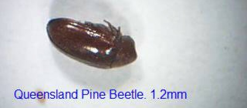Pest Inspections Pine Beetle