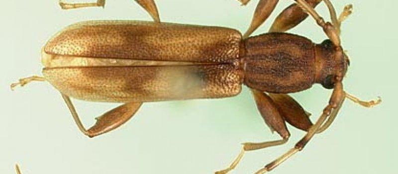 Pest Inspections Longicorn